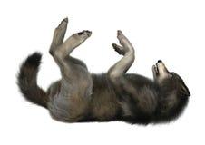 Loup sauvage sur le blanc Photos stock