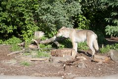 Loup se tenant dans la forêt Image libre de droits