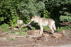Loup se tenant dans la forêt Photos libres de droits