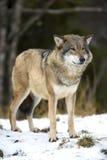 Loup se tenant dans la forêt froide d'hiver Photo stock