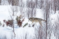 Loup seul pendant l'hiver Photo libre de droits