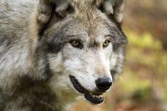 Loup solo regardant fixement attentivement Images libres de droits