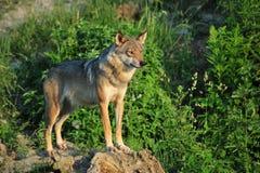 Loup sur des roches Photographie stock libre de droits