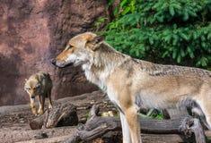 Loup sur le dispositif protecteur Photos libres de droits