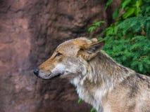 Loup sur le dispositif protecteur Images libres de droits