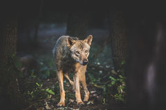 Loup timide Image stock