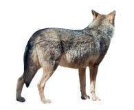 Loup tourné loin images libres de droits