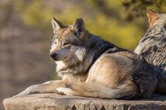 Loup vigilant menteur au zoo de Brookfield photos libres de droits