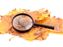 Loupe and yellow platanus leaves Royalty Free Stock Photography