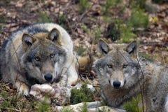 Loups Photo stock