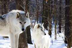 Loups arctiques Images stock