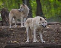 Loups arctiques Photographie stock libre de droits