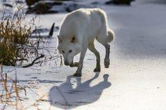 loups arctiques Photos libres de droits