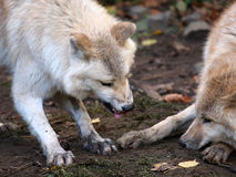 Loups blancs Photos stock