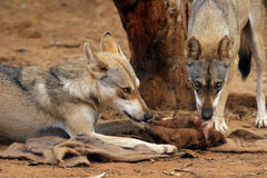 Loups circonspects photos libres de droits