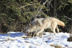 Loups de bois de construction chassant par la forêt Images libres de droits