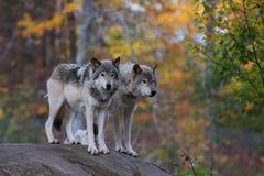 Loups de bois de construction sur la falaise rocheuse Image libre de droits