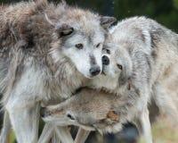 Loups de caresse Images libres de droits