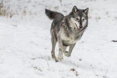 Loups de toundra Image stock