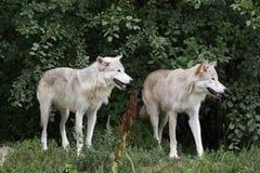 Loups en été Image stock