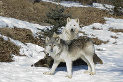 Loups gris dans Minneaota nordique Photo libre de droits