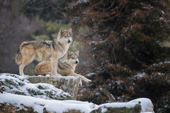 Loups gris mexicains Images libres de droits