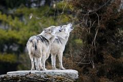 Loups gris mexicains d'hurlement Photographie stock