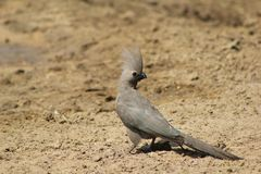 Lourie, Grey - Bird of Calls Stock Photography