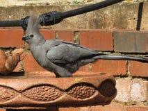 Lourie grigio Immagine Stock