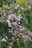 Louro de montanha (latifolia do Kalmia) Fotografia de Stock Royalty Free