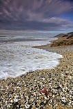 Louro do escudo do mar Fotografia de Stock