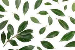 Louro isolado no fundo branco Folhas de louro frescas Vista superior Teste padrão liso da configuração Fotos de Stock Royalty Free