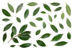 Louro isolado no fundo branco Folhas de louro frescas Vista superior Teste padrão liso da configuração Foto de Stock Royalty Free