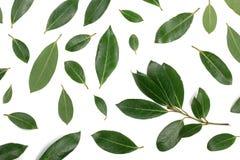Louro isolado no fundo branco Folhas de louro frescas Vista superior Teste padrão liso da configuração Imagem de Stock Royalty Free