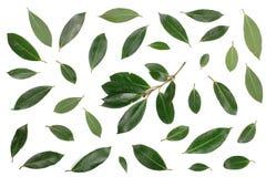 Louro no fundo branco Folhas de louro frescas Vista superior Teste padrão liso da configuração Fotografia de Stock