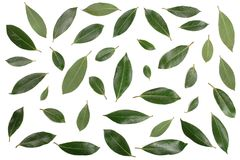 Louro no fundo branco Folhas de louro frescas Vista superior Teste padrão liso da configuração Fotos de Stock Royalty Free