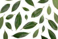 Louro no fundo branco Folhas de louro frescas Vista superior Teste padrão liso da configuração Foto de Stock Royalty Free