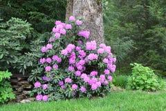 Louro ocidental do rosa do NC Fotografia de Stock