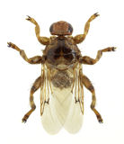 Louse fly Hippobosca equina Royalty Free Stock Photography