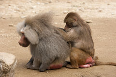 Lousing baboons Royalty Free Stock Photos