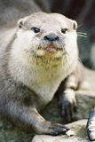 Loutre images stock
