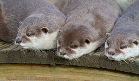 loutre Photos stock