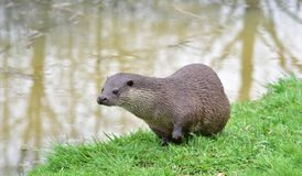 loutre Photographie stock