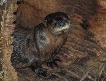 Loutre au zoo d'OR dans Asheboro photographie stock libre de droits