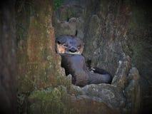Loutre au zoo d'OR dans Asheboro photo stock