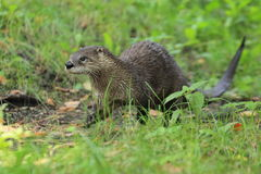 Loutre canadienne Photographie stock