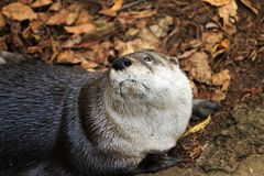 Loutre curieuse Photo stock