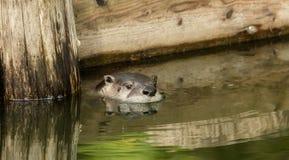 Loutre dans l'étang photographie stock