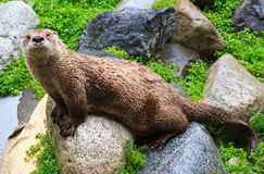 Loutre de fleuve Photo stock