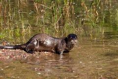 Loutre de fleuve nord-américaine Image libre de droits